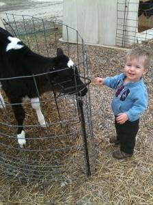 Ronan with a calf